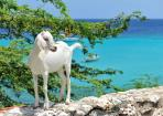 Nature Boca Sami goat on wall sea view Curacao 06 copy